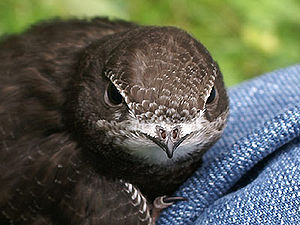 Mauersegler - Apus Apus, ein Jungvogel der noc...