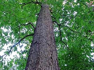 English: White oak (Quercus alba), Berlin, Ger...