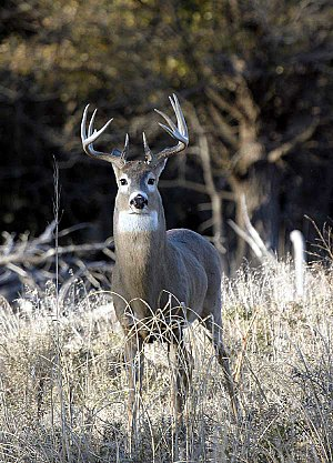 Male Kansas White-tailed Deer (Odocoileus virg...
