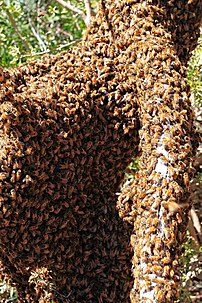 Swarming bees require good communication in or...