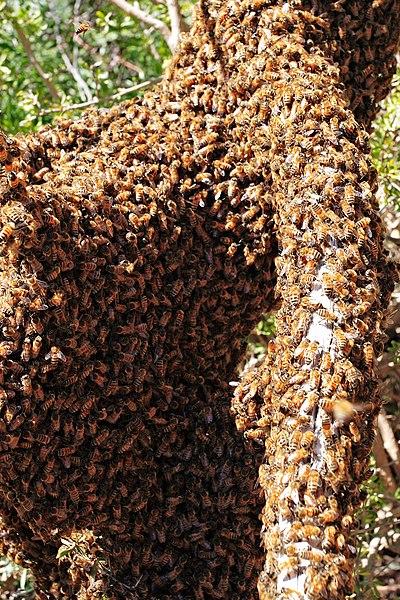 File:Bee swarm on fallen tree02.jpg
