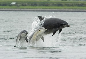 An adult female bottlenose dolphin with her yo...