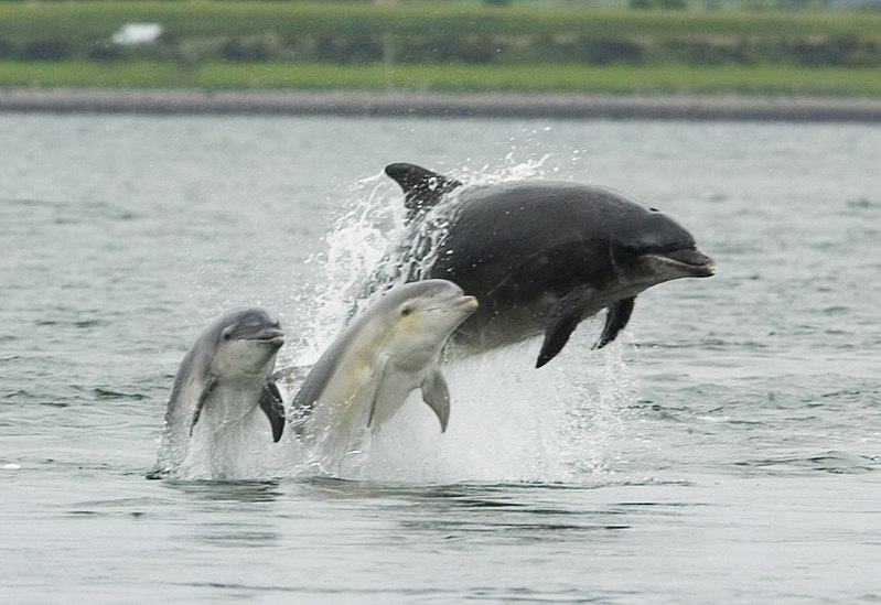 File:Bottlenose dolphin with young.JPG