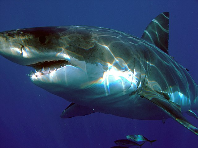 Great White Shark Reproduction | 8 Facts About How Great White Sharks Reproduce Atlantic White
