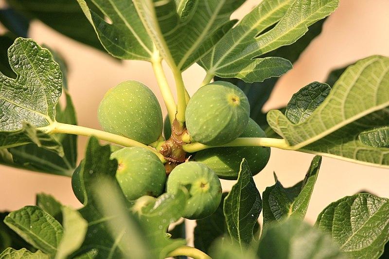 File:Fig Tree (5967272441).jpg