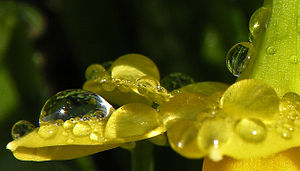 Dew, Flowers, Narcissus