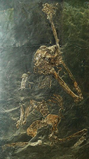 English: Fossil of Oreopithecus bambolii, an e...