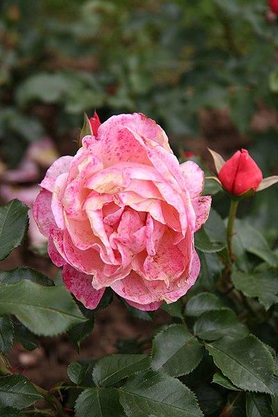 rose cultivars named after some people nafff. Black Bedroom Furniture Sets. Home Design Ideas