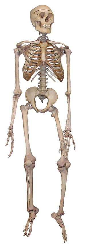 An articulated human skeleton, as used in biol...