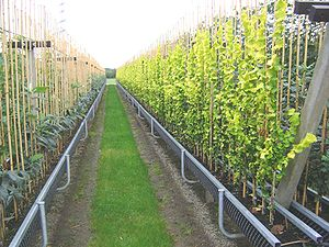 A tree nursery using gutters to decrease growi...