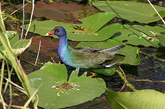 American Purple Gallinule, Porphyrio martinica