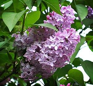 Common Lilac Syringa vulgaris.