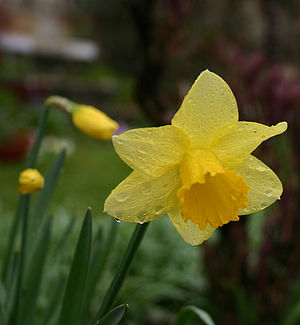 The Daffodil, the floral emblem of March