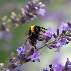English: A close-up of a bumblebee on a stem o...
