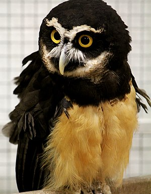 Spectacled Owl Pulsatrix perspicillata