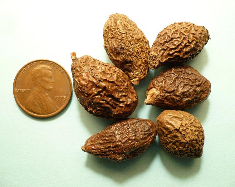 File:Sterculia lychnophora seeds.jpg