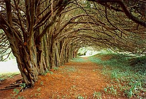 English: The yew walk, Huntington Castle, Clon...