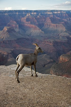 A Bighorn Sheep in front of the Grand Canyon
