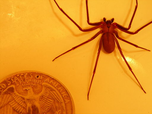Brown-recluse-quarter