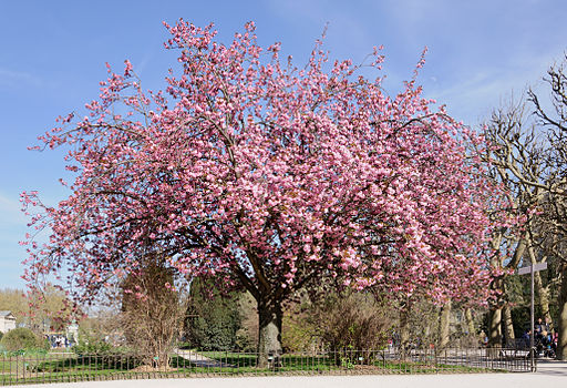Cerisier du Japon Prunus serrulata
