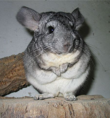 Maria, the Chinchilla by Sara Coelho