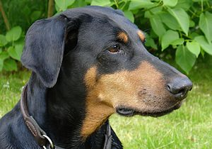 Doberman with natural ears.