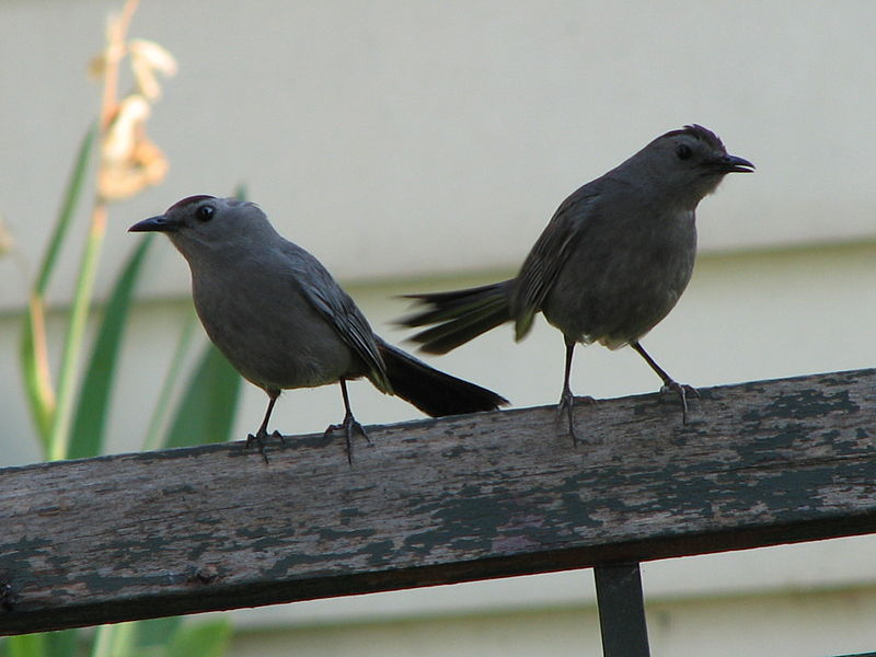 File:Gray Catbird - Mother and Child.jpg