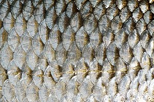 Scales of Common Roach (Rutilus rutilus).