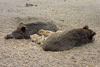 Wildschweine. Von Wikimedia Commons User:Lotse, Lizenz CC-BY-SA