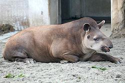 Brazilian - Lowland tapir.jpg