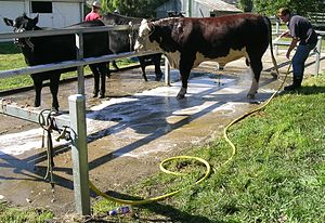 Preparing stud beef cattle for an agricultural...
