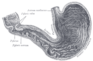 Interior of the stomach.
