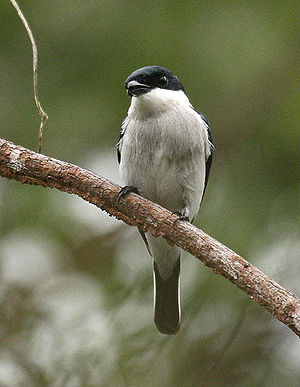 A Black-winged Flycatcher-shrike (Hemipus hiru...