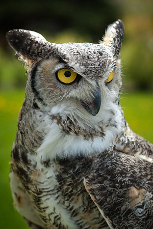 Great Horned Owl, Manitoba, Canada