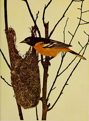 English: Icterus galbula (Baltimore Oriole)