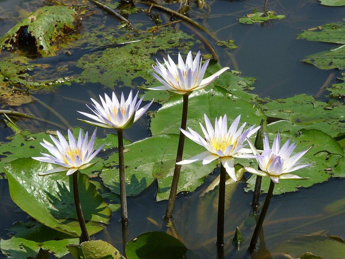 Water Plants Flowers