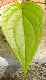 Hoja de betel que se mastica con la nuez de areca, llamada de betel.