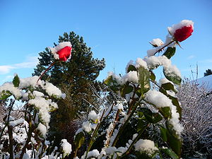 roses after first snowfall