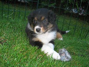 English: Australian shepherd puppy tricolor Da...