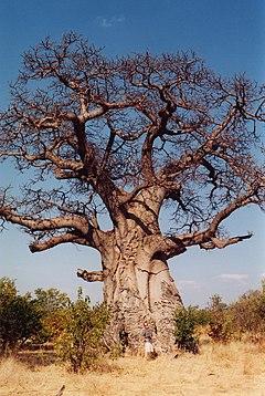 Baobab Afrika