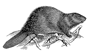 Line art drawing of a beaver.