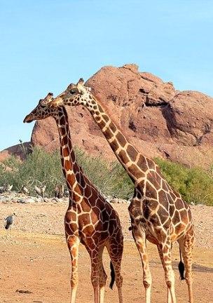 Die Giraffe ist das Symboltier für die Gewaltfreie Kommunikation.