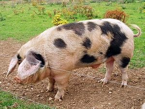English: A Gloucester Old Spot breed boar (mal...