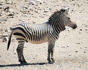 Ilyen zebra lenne a buli