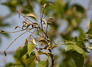 Karanj Pongamia pinnata in Hyderabad , India.