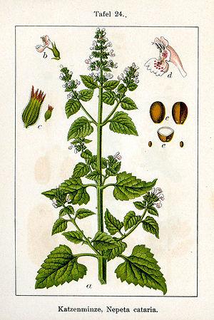 Nepeta cataria L. ;Original Description: Katze...