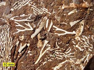 Ordovician bryozoans in an Estonian oil shale.
