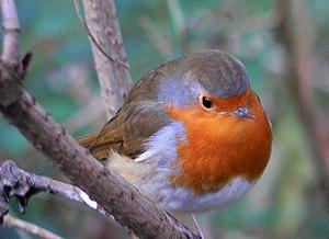 English: Robin at Stover Park This bird kept f...