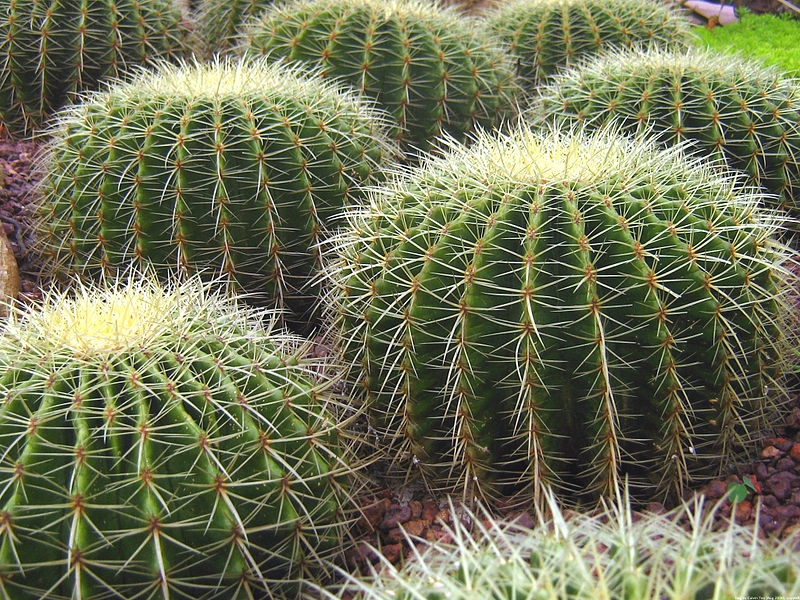 File:Singapore Botanic Gardens Cactus Garden 2.jpg