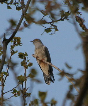 A cuckoo in a wood in Bavaria